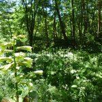 ウバユリが自生していて夏に咲きます(2017年8月)